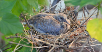 10 day old Common Bronzewing Dove is almost too big for the nest